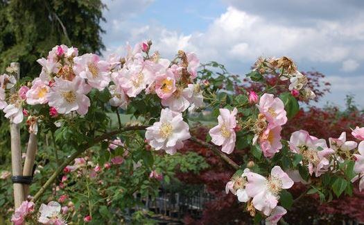 роза SCINTILLATION