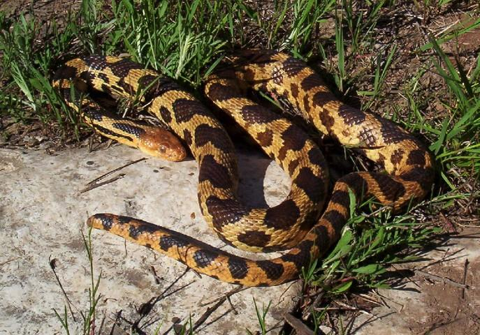 Image result for western fox snake care in captivity