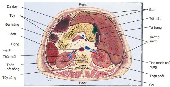 Mặt cắt ngang của ổ bụng
