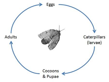 Gypsy Moth Biology - Province of British Columbia