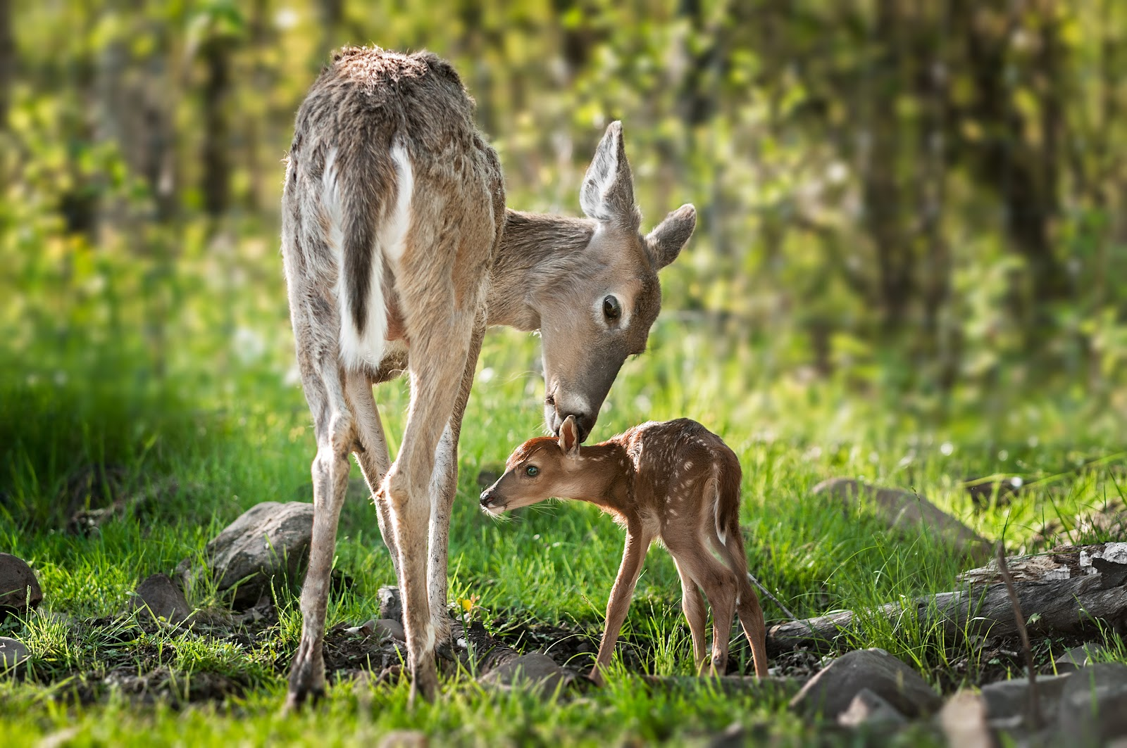 Doe and fawn in the woods