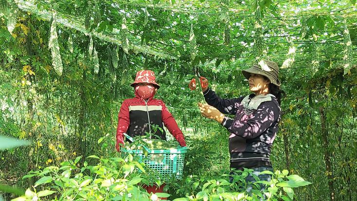 Chị Rơ Mah H'lý (phải) đang hái mướp đắng bán cho thương lái.