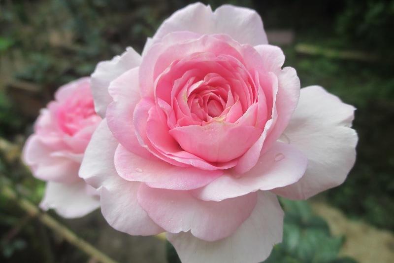 Tặng 1 bông hoa hồng thể hiện cho tình yêu từ cái nhìn đầu tiên
