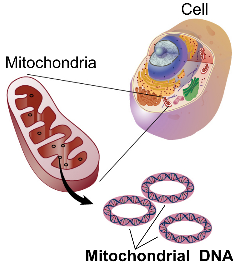 Mitochondrial DNA in a eukaryotic cell