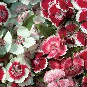Image result for sweet william wee willie