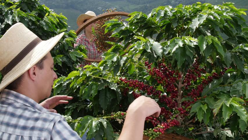 "picking coffee bean ""cherries"""