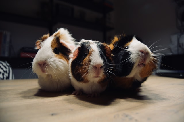 Guinea pigs | Searching for an easy pet to adopt?