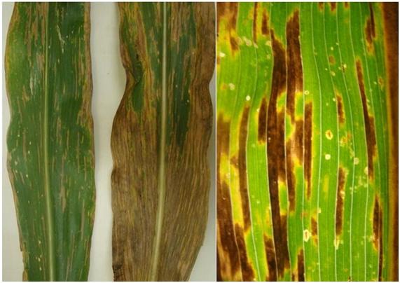cercosporiose do milho