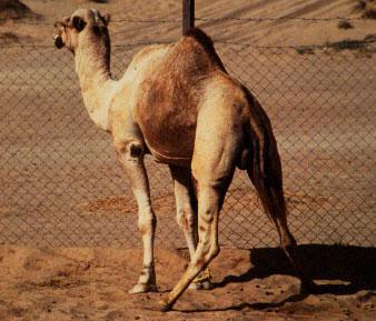 Conducta de celo del macho. Nótese la posición acuclillada de micción del macho con amplia apertura de las extremidades posteriores y movimientos de la cola hacia arriba y abajo para la aspersión de orina sobre la grupa.