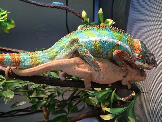 https://i2.wp.com/backwaterreptilesblog.com/wp-content/uploads/panther-chameleons-mating.jpg?resize=650%2C488&ssl=1