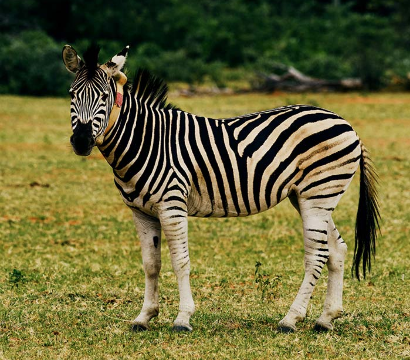 A Zebra on the Welgevonden Game Reserve with a sensor-equipped collar