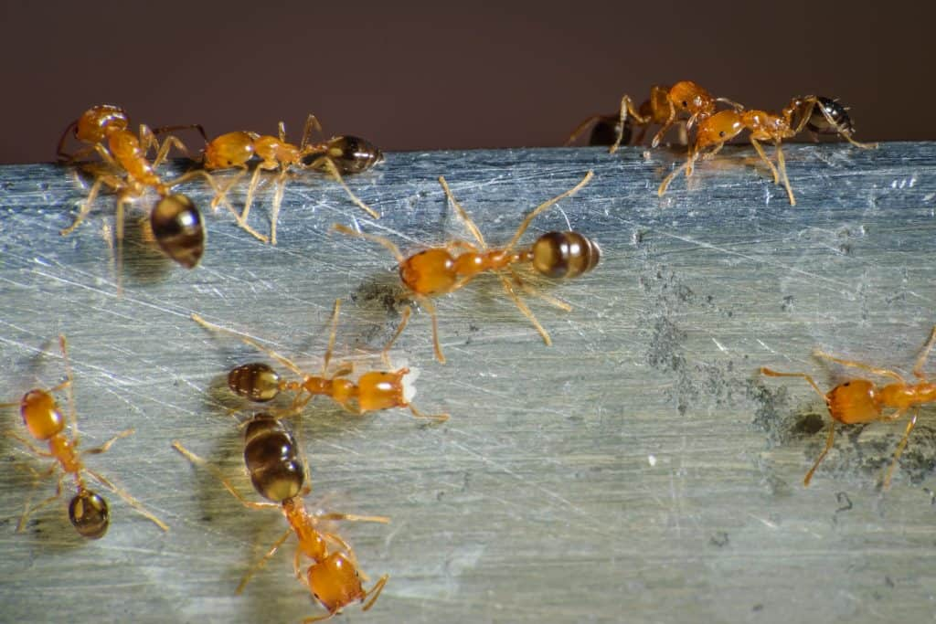 What eats bed bugs? Pharaoh ant do!