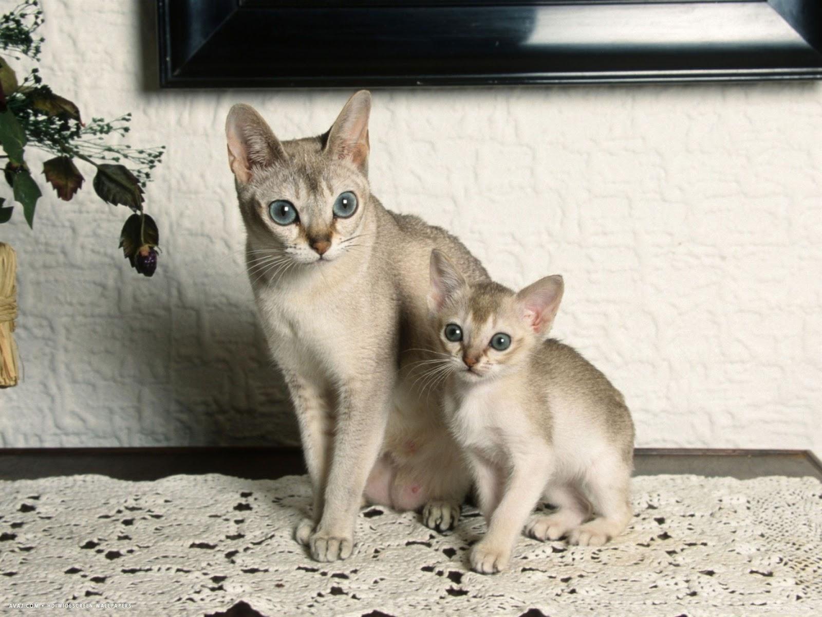 Mèo Singapura mẹ chăm mèo con rất tốt