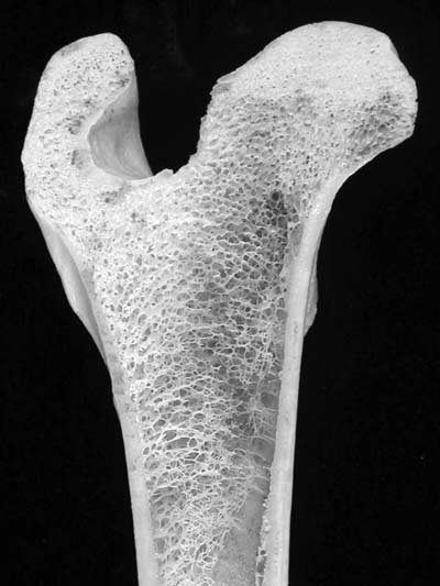 Longitudinal section through the proximal end of an adult canine femur