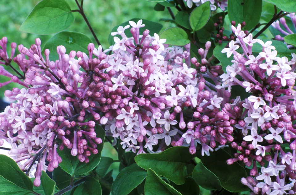 Your Guide to Growing & Caring for Lilac Bushes 1