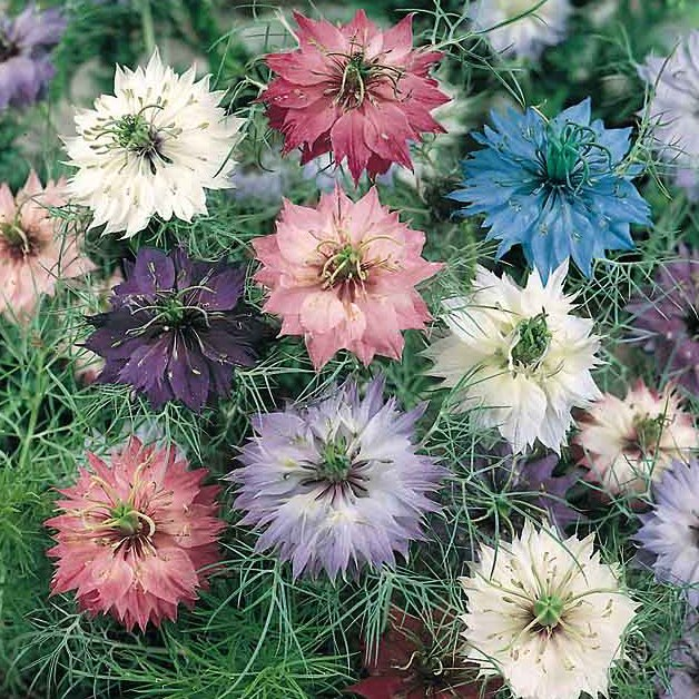 Persian Jewels Mix love in a mist blossoms in a variety of colors.