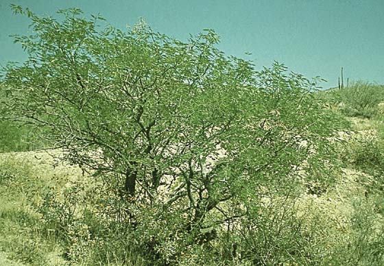 Catclaw acacia
