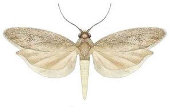 IN-7.0 Rice Moth