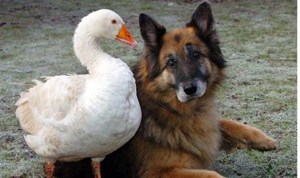 Rex the German Shepherd and Geraldine the goose have become firm friends