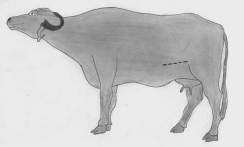 The oblique ventrolateral operative site for c-section in the buffalo (dotted line).