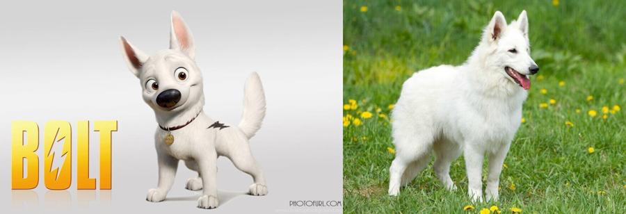 Bolt is White German Shepherd.