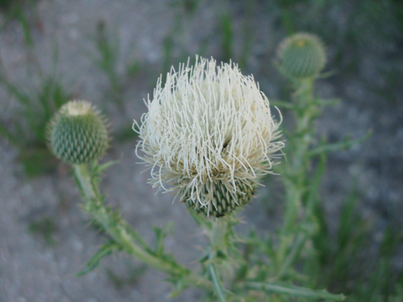 Platte/Prairie/Creamy thistle (Circium canescens)