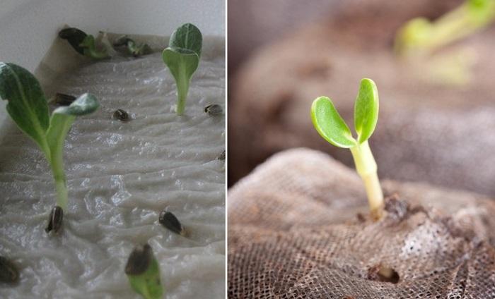когда и как вырастить рассаду перца