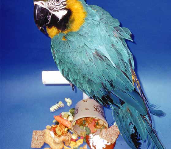 A blue and gold macaw that was fed a diet of pasta, crackers, cookies, pellets and vegetables