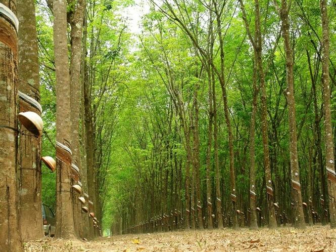 Một rừng cao su sẽ là nguyên liệu tương lai cho gỗ cao su
