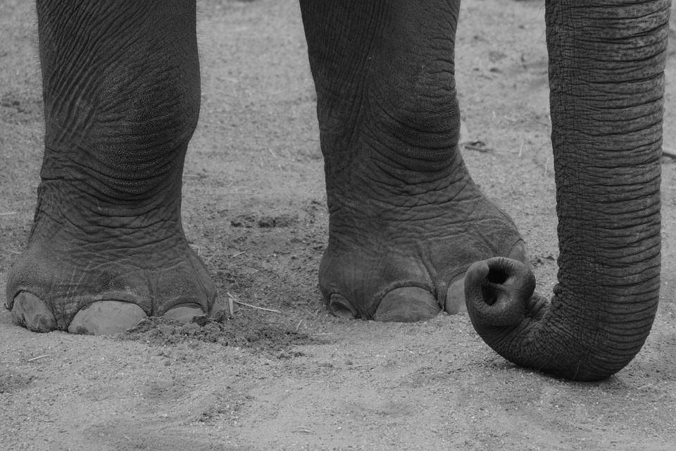 Do Elephants Have Knees Elephant Things Discover and download free elephant png images on pngitem. do elephants have knees elephant things