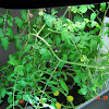 17 week lightscreen cherry tomato stayed fairly fungus-free - gave it another weekly treatment - lots of new green fruit