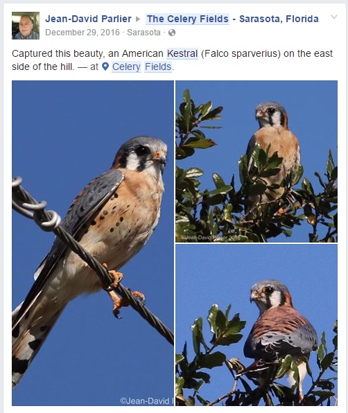 American Kestrel Jan 2016 - Status - Federally Threatened listed as threatened in Florida due to a decline in nesting and foraging habitat.jpg