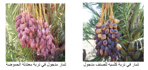 ثمار في تربة كلسيه للصنف مدجول              ثمار مدجول في تربة معتدلة الحموضة