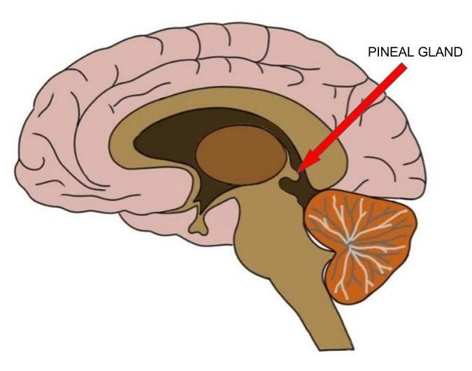 Know Your Brain: Pineal Gland — Neuroscientifically Challenged