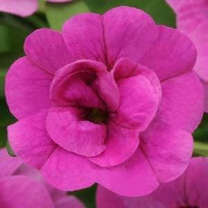 MiniFamous Double® Pink evol.