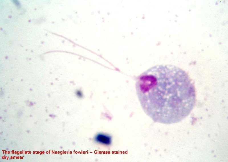 Flagellate of Naegleria fowleri stained with Giemsa