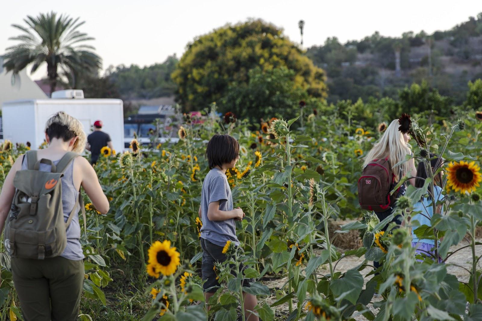 People walking through sunflower field