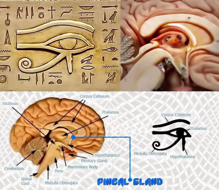 the pineal, the third eye