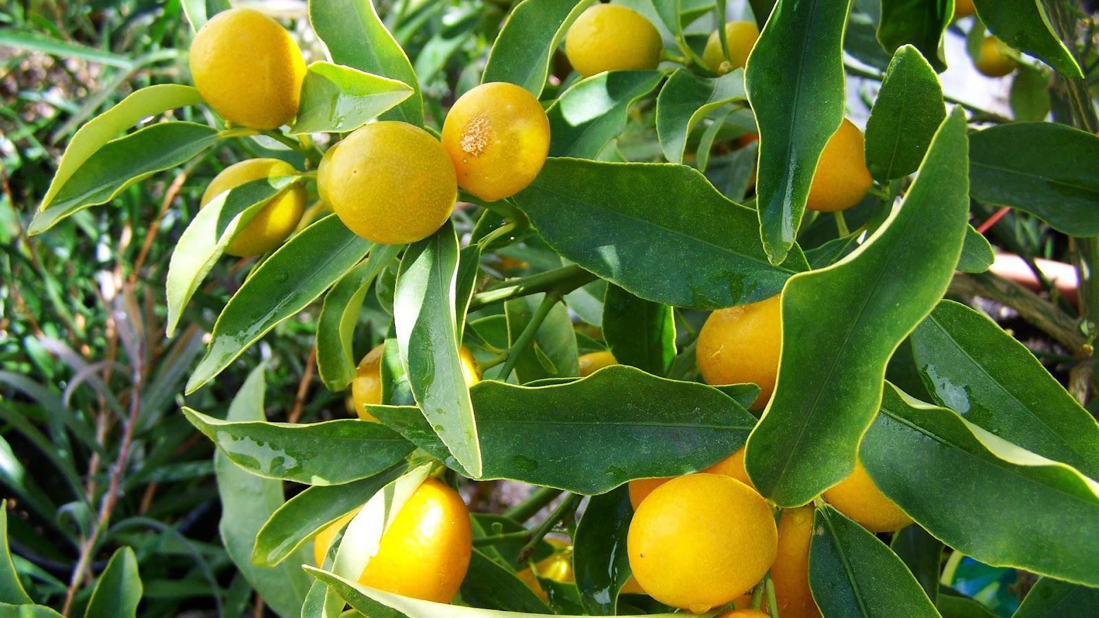 types of lemons