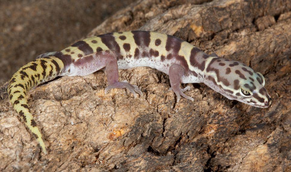 Image result for western banded gecko
