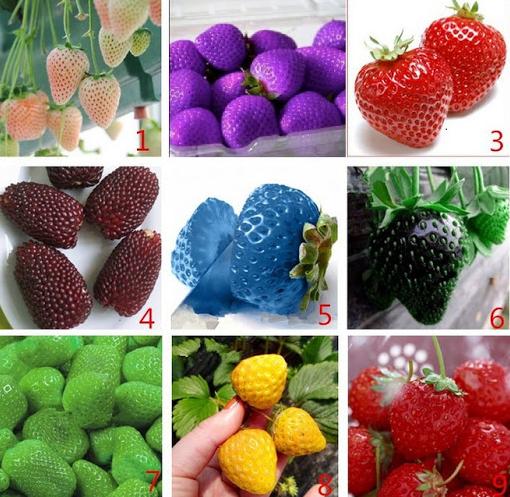 Muốn mua dâu nhập khẩu chưa chắc đã tìm được những giống này ở Việt Nam