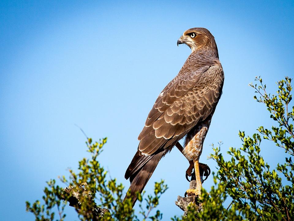 bird-of-prey-1544985_960_720.jpg
