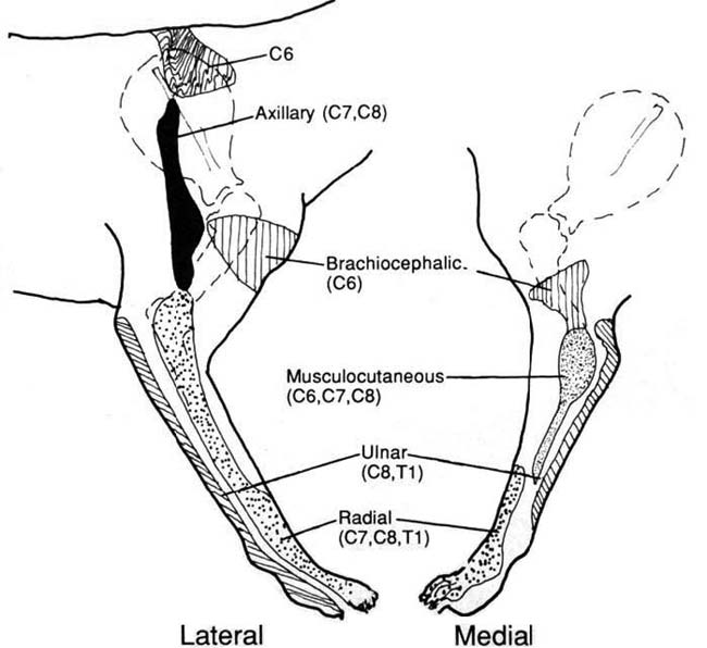 Autogenous zones on the lateral and medial aspects of the canine forelimb