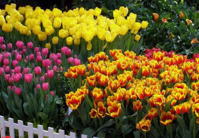 Тюльпаны 1.jpg