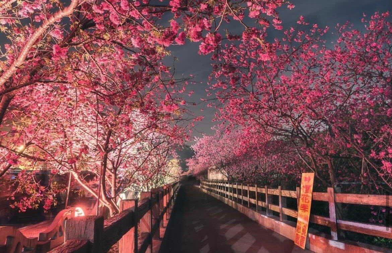 2021櫻花季,到台中后里泰安賞櫻花