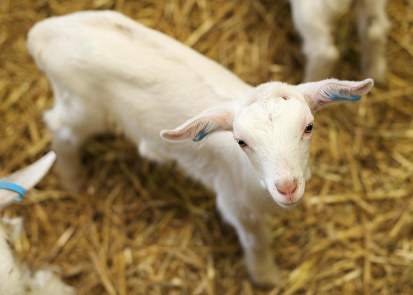 Baby_goat.jpg