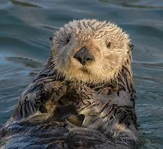 Sea otter chilling on its back in the ocean