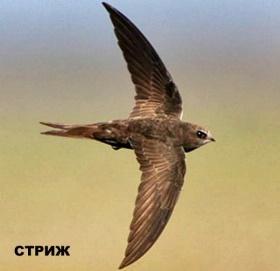 Кемпинги и любительская орнитология. Стриж