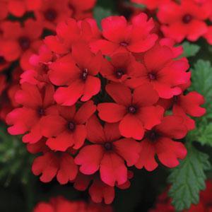 Lascar™ Dark Red