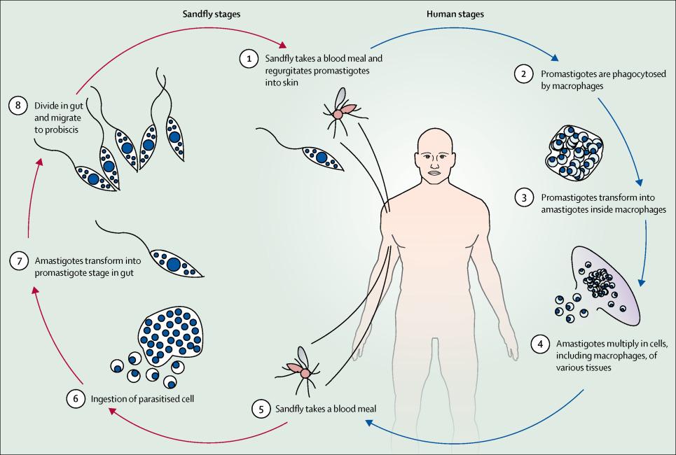 Life cycle of  leishmania